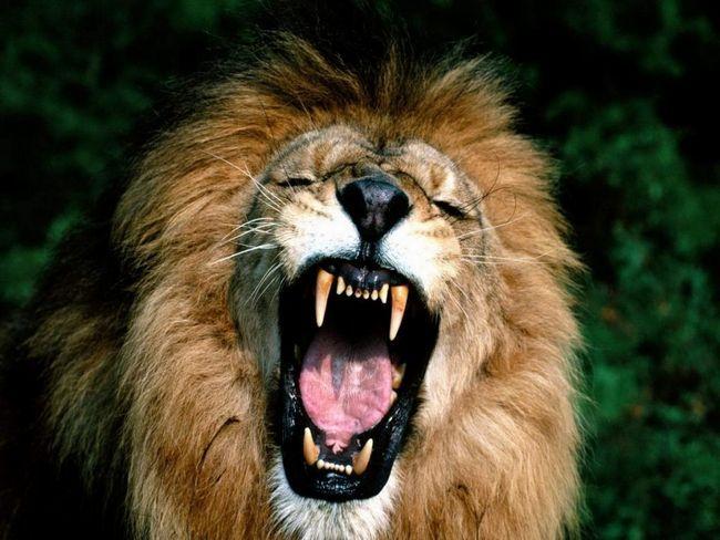 Африканський лев.