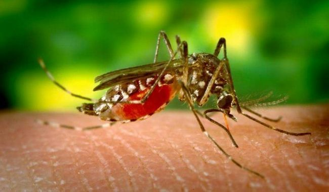 Малярійний комар (Anopheles).