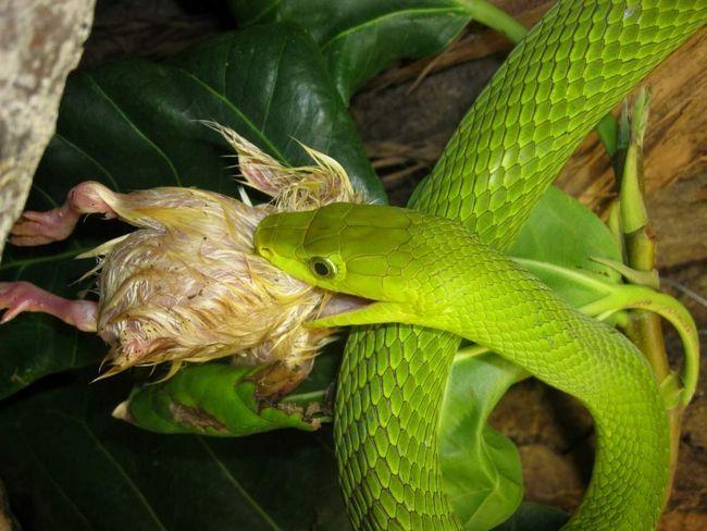 Узкоголовая (зелена) мамба (Dendroaspis angusticeps).