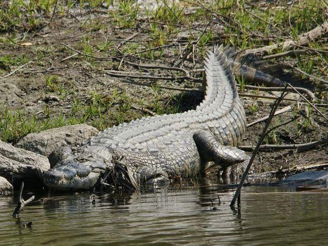 Нільський крокодил (Crocodylus niloticus).
