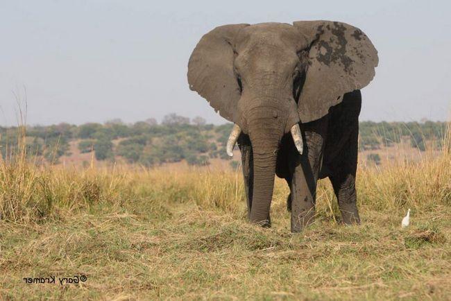 Африканський слон саванний (Loxodonta africana).