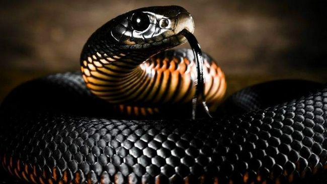 Змія має сумну славу надзвичайно небезпечної, укус якої до появи протиотрут незмінно приводив до летального результату.