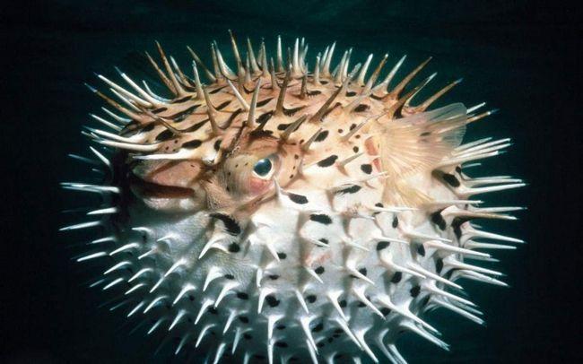 Токсини містяться в шкірному покриві, очеревині і деяких внутрішніх органах риби.