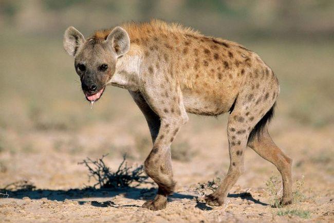Як відомо, гієни не гребують ні падаллю, ні людським м`ясом.