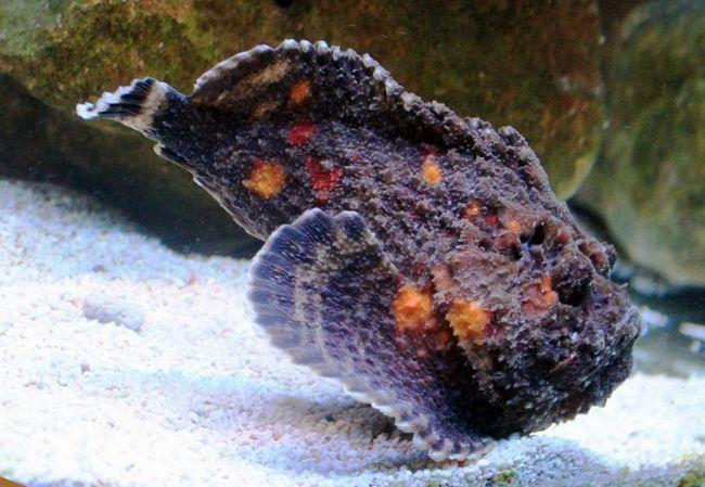 Бородавчатка - найбільш небезпечна з відомих отруйних риб, її отрута заподіює сильний біль з можливим шоком, паралічем і відмиранням тканин.