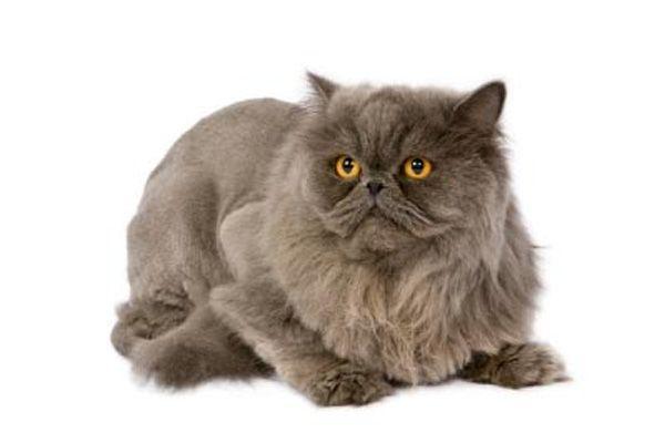 Найпопулярніші породи кішок