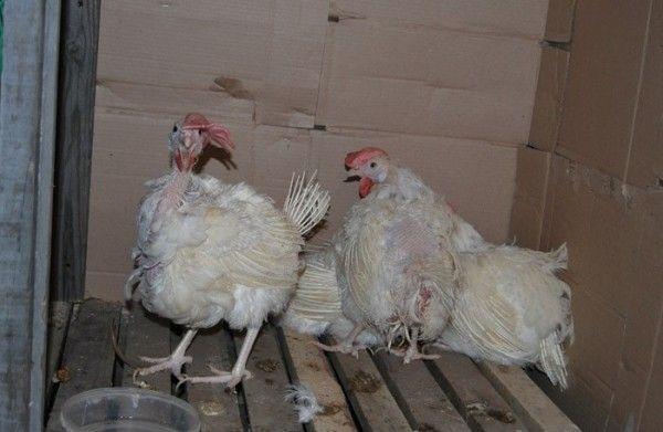 Домашні птахи заражені хворобою