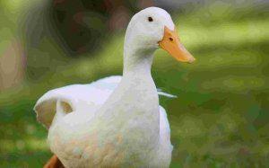 Популярні породи качок
