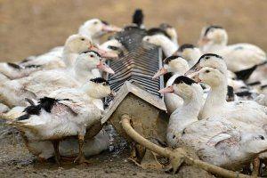 Важливо не забувати оновлювати запаси води птахів