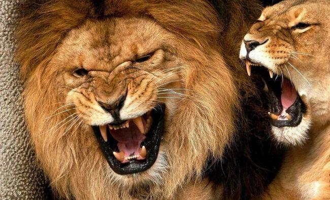 У лева потужні і сильні щелепи, а ікла мають довжину 8 см, тому ці хижаки здатні вбивати досить великих тварин.