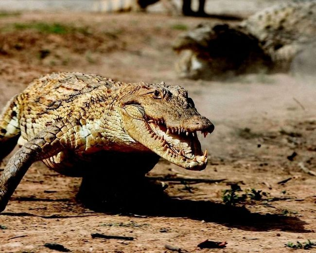 Нільський крокодил має 64-68 конічних зуба, з яких 36-38 на верхній щелепі і 28-30 на нижній.