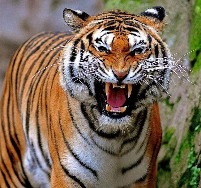 Дорослий тигр, як і більшість інших котячих, має 30 зубів: його ікла добре розвинені, їх довжина може досягати 8 см.
