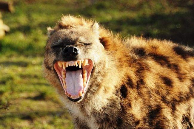 Щелепи плямистої гієни створюють найсильніше тиск серед ссавців 70 кг / см2, дозволяючи розгризати кістки.