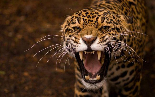 Своїм ім`ям ягуар зобов`язаний мови корінних мешканців Південної Америки, і в перекладі на російську воно означає «той хто вбиває з одного стрибка».