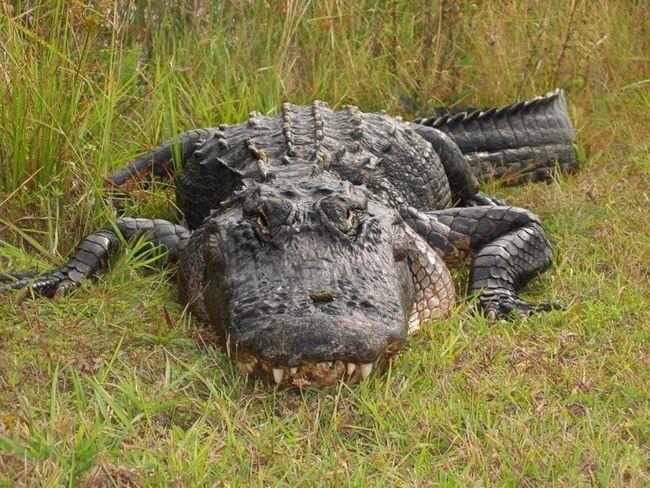 Великі алігатори здатні нападати на велику рогату худобу, оленів і диких свиней.