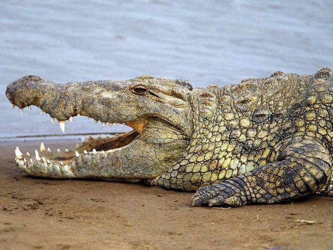 Гребенястий крокодил - володар найсильнішого укусу в тваринному світі, якій поступаються навіть акули.
