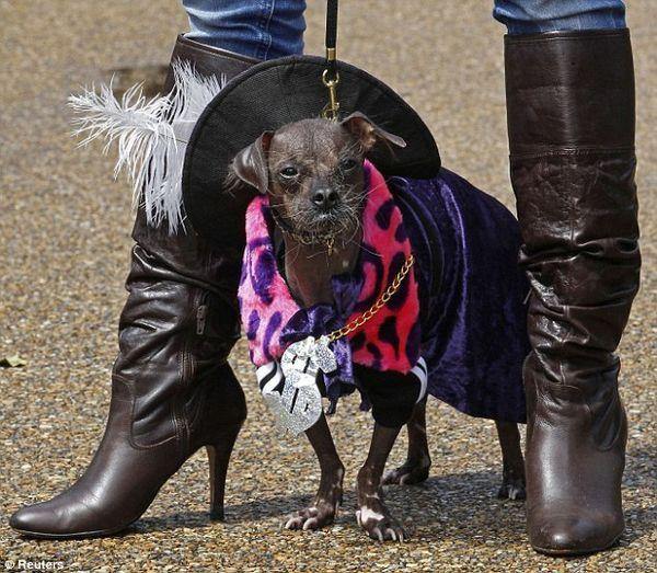 Найстильніші собаки одягнені під дворян вікторіанської епохи
