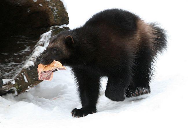 Росомаха - невелика копія ведмедя.