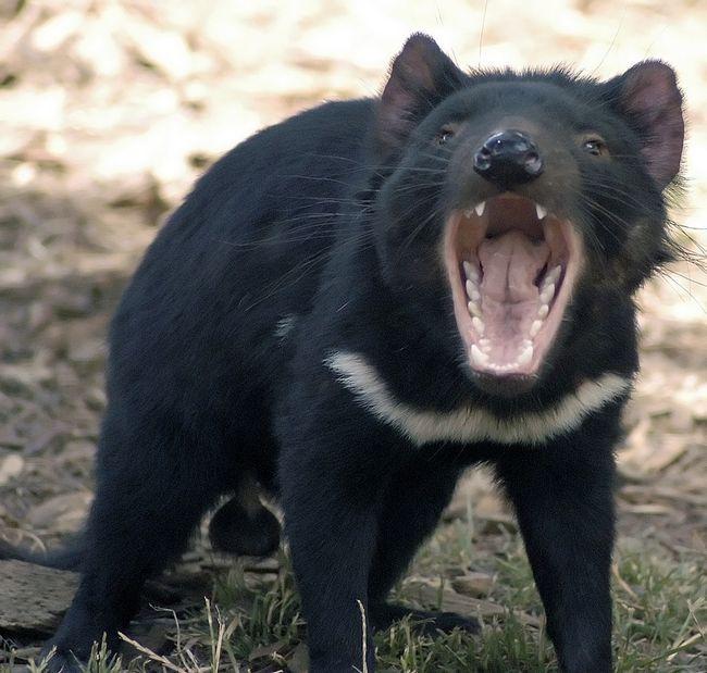 Миле на вигляд тварина, насправді - небезпечний звір, здатний ще і запахом вбивати наповал!