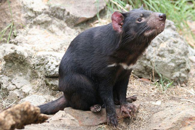 Тасманійський, по-іншому - тасманійських диявол: маленький злісний звір.