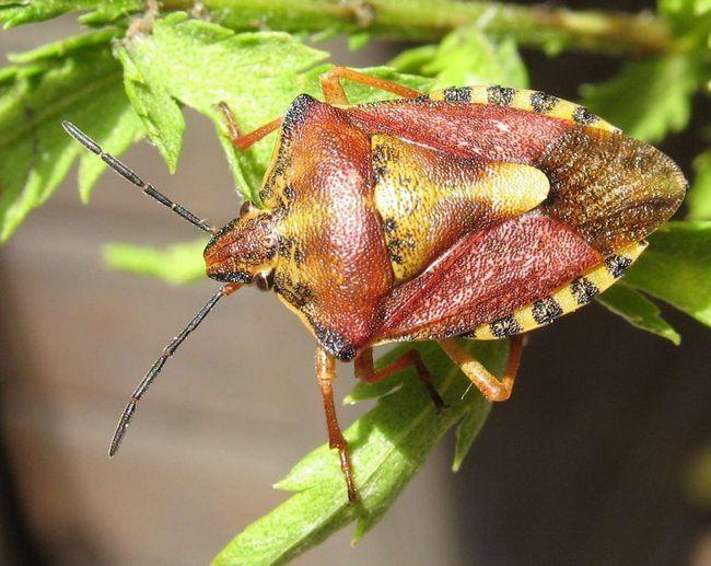 Carpocoris purpureipennis здатний з легкістю зіпсувати апетит навіть людям.