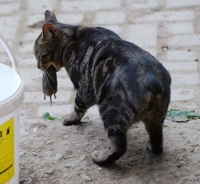 Найбільш затребувані породи кішок в США