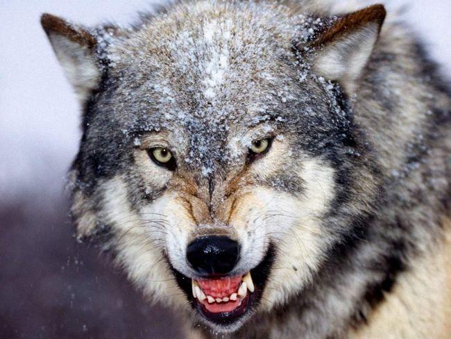 Вовк (Canis lupus).