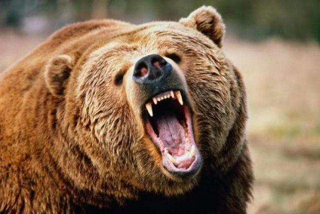 Насправді небезпека бурого ведмедя в чому перебільшують, так як він відноситься до числа неагресивних тварин.