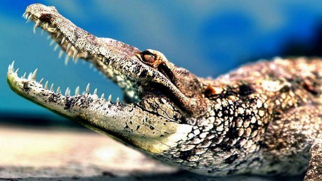 Найжахливішою частиною тіла крокодила є, звичайно ж, його щелепи.