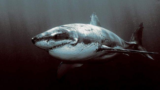 Сіра бичача акула (Carcharhinus leucas).