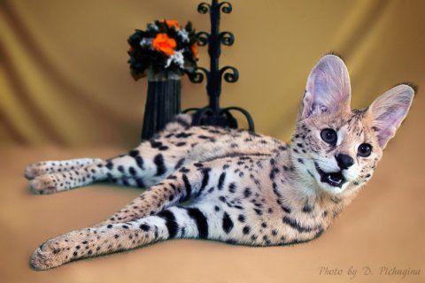Найдорожчий кіт у світі - три елітні породи кішок
