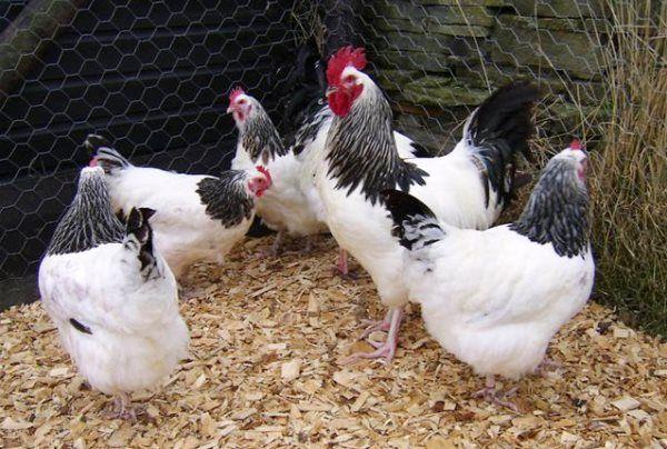 Яєчно-м`ясна порода Суссекс