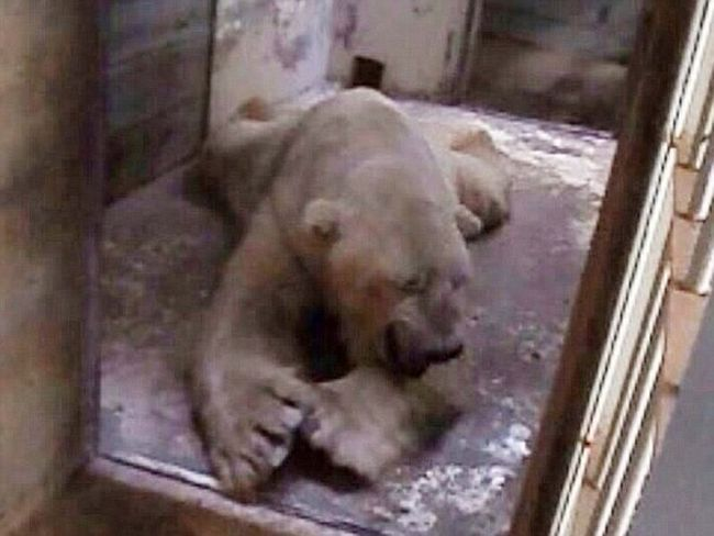 Найсумніший білий ведмідь живе в аргентинському зоопарку