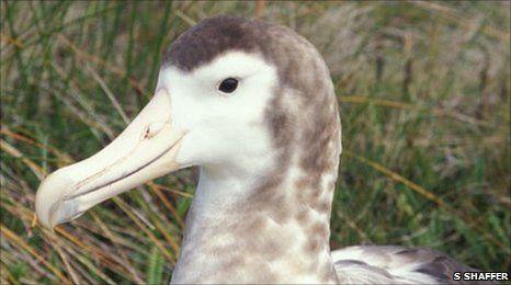 Самим рідкісним з усіх видів альбатросів вченими був визнаний амстердамський альбатрос (Diomedea amsterdamensis) або альбатрос амстердамських островів, повідомило BBC News.