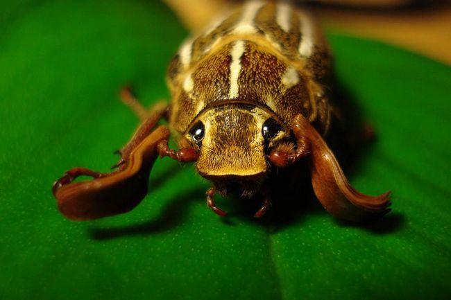 Жуки - стійкі організми, вони можуть адаптуватися до будь-якому середовищі.