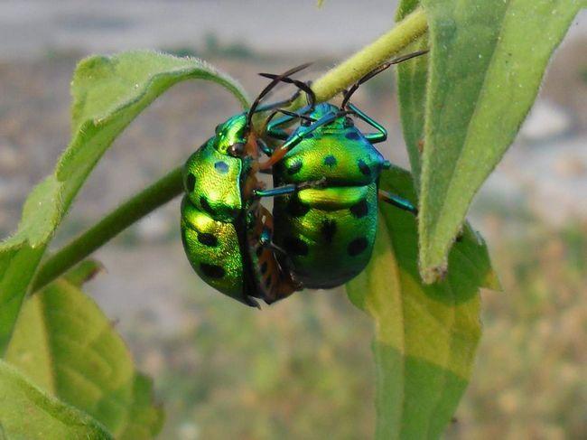 Крім стійкості жуків, деякі види цих комах відрізняються вражаючою красою.