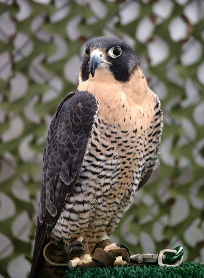 Сапсан (Falco peregrinus).