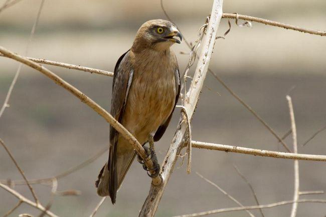 Саранових канюк (Butastur rufipennis)