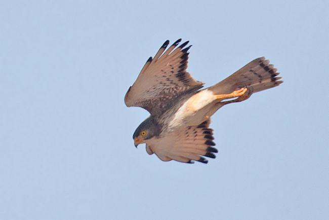 У шлюбний період ці птахи ширяють і виконують кругові польоти, супроводжувані гучними криками.