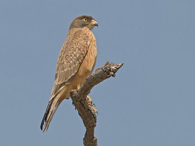 Сезон гніздування у саранових канюков починається в березня і триває до серпня.