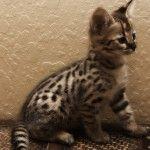 Саванна кішка