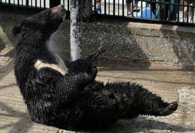 Гімалайський ведмідь Міша повернувся в розплідник.