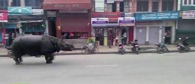 Втік носоріг вбив жінку в Непалі.