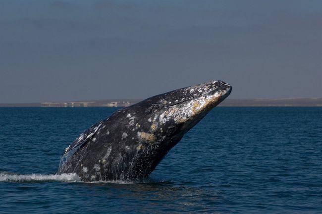 Сьогодні відзначається день сірого кита.