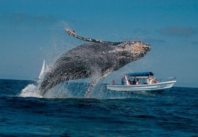 Стрибок сірого кита чудовий.