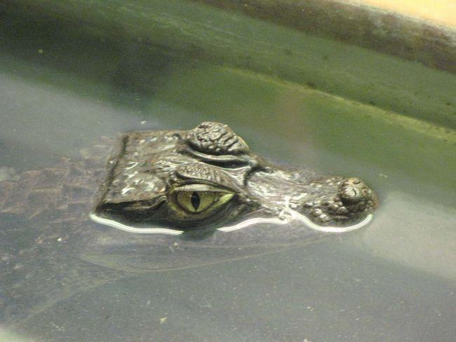 крокодильчик, Crocodile