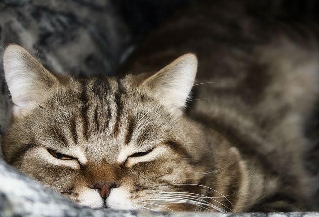 Секрети правильного догляду та годування прямоухих кішок скоттиш страйт