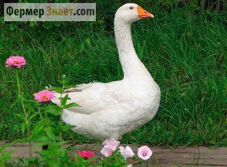Секрети птахівництва: білі італійські гуси