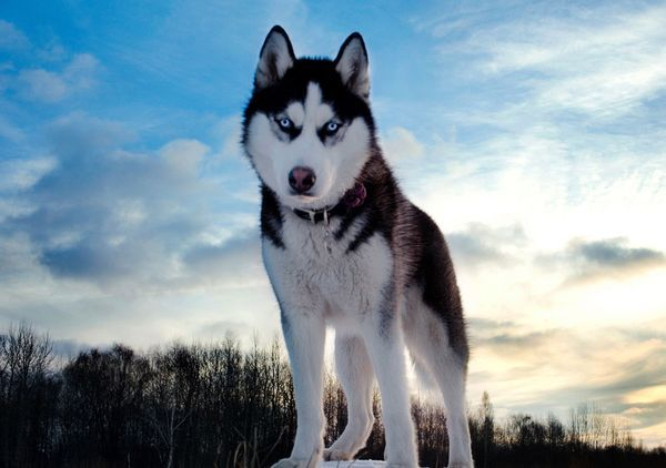 Зоозахисники звинуватили гру престолів в чотириразовому зростанні кинутих собак хаскі