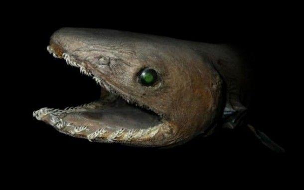 акула плащеносная